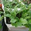 【家庭菜園】秋冬野菜が少しずつ育ってきましたー