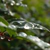 南天の水滴 2016 11月