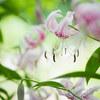 美しい花 #1  鹿の子百合