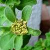 柿へた虫消毒と花