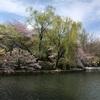 三ツ池公園でお花見