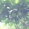 梅雨前線と梅の実とカリンカリンとカナブン専用捕虫網のこと