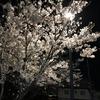 近所の公園の街灯にソメイヨシノ照らされています。とってもいい一日をありがとう。