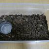 レオパの20cmとトカゲの20cm、個人的なニホントカゲの飼育論