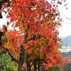 奈良市神功・ナンキンハゼ並木の紅葉(11月上旬~中旬)