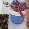 ☆ミニチュアの多肉植物☆ルビーネックレスとマルバマンネングサを作る