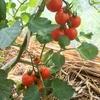 梅雨の晴れ間の畑の作物  (おまけ)「チューボーですよ!」