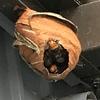 磐田市で軒下に巣を作ったスズメバチを退治してきました!
