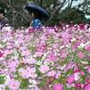 少雨にも負けず7万本見頃 コスモス開花