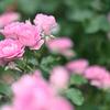 後ボケを意識して薔薇を撮ってみた