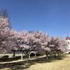 季節の便り:まだ満開の桜 [No.2021-S009]