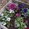 庭で楽しむ、寒さに強い植物 植えました。