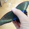 大きな黒い蝶はアゲハチョウ? 美しい輝きを持つカラスアゲハの夏型と春型