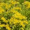 ゴールドビューティの花