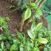 三大芳香花の一つ「クチナシ」の害虫駆除に完全成功と思いきや!