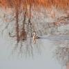 手賀川を飛ぶカンムリカイツブリ