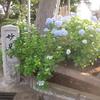妙見堂の紫陽花は、これからが見ごろ!