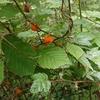 野生の木いちごとお土産のマタタビ