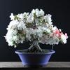 【サツキ盆栽】母の日に盆栽のプレゼントはいかがですか?
