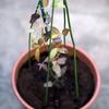 クレマチスの植え付け