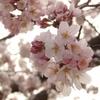 来年もこの桜が見られるだろうか-自分の価値というものを、考える