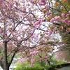 天見の八重桜が満開・南海高野線軌道敷跡の遊歩道