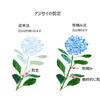 花を長く楽しむアジサイの芽かき