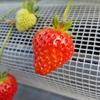 柏崎市「ファームくじらなみ」でイチゴ狩り!4年連続受賞の逸品は果肉もぎっしり