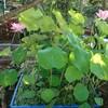 複数咲いたハス池のハス