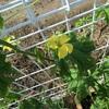週刊 家庭菜園