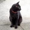 黒猫 ゴーストタビー