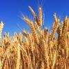 国内販売小麦製品の約7割から除草剤「グリホサート」検出(発がん性物質)