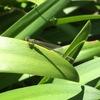 夏の終わりの庭では・・・トンボが飛んで、ユズは色づき・・・