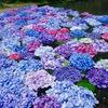 水に浮かぶ紫陽花。久安寺に行ってきたよ。