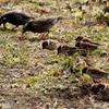 手賀沼遊歩道でエサを啄ばむスズメとムクドリ
