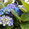 復活の紫陽花と越冬のピーマン (庭の植物あれこれ)