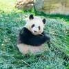 ライブ映像ニュース速報!上野動物園ジャイアントパンダ「シンシン」双子の赤ちゃん出産動画