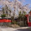 【桜】嵐山と車折神社の渓仙桜【3/19散策記】