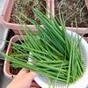 葉ネギの収穫と小松菜・水菜の成長