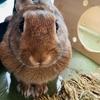 ウサギのちまきどんがサークル70cm越えして脱走!(生後8ヶ月)