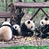 パンダに次ぐパンダ~中国・成都パンダ繁育研究基地(パンダ基地)へ行ってきた☆寄付の記念品としてぬいぐるみをお土産に