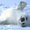 こんにちわ!! アザラシです。 流氷に乗って日本にやってきました〜〜・・・