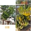 バナナとヘチマの収穫