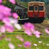 小湊鉄道とコスモス