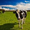 牛まで不妊治療が必要な現代!お灸で不妊症解消へ!
