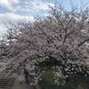 茨木 高槻は桜満開🌸