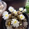 昼咲きコノフィツムの花