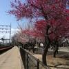 梅は満開。桜はまだまだ。