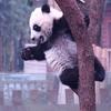 木登りパンダ♪