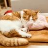 【猫学】保護猫ボランティアって何するの?わたしのボランティア活動の体験をシェアします。